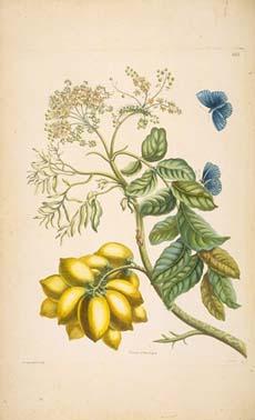 merian-plum-tree.jpg