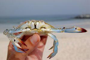 Blue Crab, courtesy of Andrey Papko, FlickR